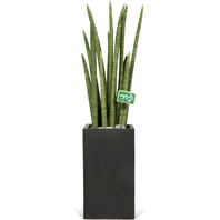 [플라워포유] 스투키 [개업선물/이사선물/관엽식물/공기청정]