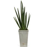 [플라워포유] 스투키(실린드리카) [관엽식물/공기정화/개업/이사/화분]