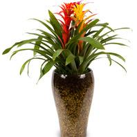 [플라워포유] 체리아나나스 (RM_RHS1004) [관엽식물/공기정화식물/개업화분/개업선물]