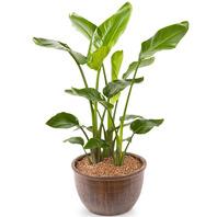 [플라워포유] 극락조 530k (RM_RHS1007) [관엽식물/공기정화/개업/이사/화분]