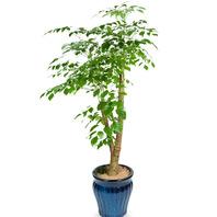[플라워포유] 녹보수 (RM_RHS1010) [관엽식물/공기정화/개업선물/화분/이사]