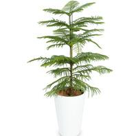 [플라워포유] 알로카리아 [관엽식물/공기정화/개업/이사/화분]