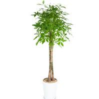[플라워포유] 파키라 사기분(중)[관엽식물/공기정화/개업/이사/화분]