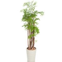 [플라워포유] 폴리시아스 554h (RM_RHS1030) [관엽식물/공기정화식물/개업선물]