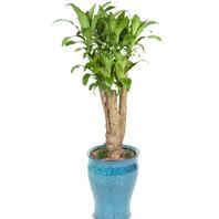 [플라워포유] 행운목 괴목 (RM_RHS1033) [공기정화식물/관엽식물/화분/개업선물/이사선물]