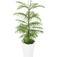 [플라워포유] 알로카리아(중) (RM_RHS1035) [관엽식물/공기정화/개업/이사]