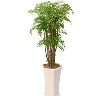 [플라워포유] 폴리셔스 (RM_RHS1049) [관엽식물/개업화분/이사선물/공기정화식물]