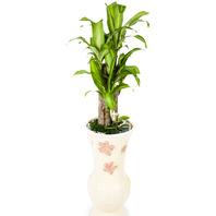 [플라워포유] 행운목 (RM_RHS1061) [공기정화식물/관엽식물/화분배달/개업화분추천/창업선물/개업선물/이사선물/이사화환]