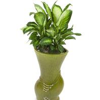 [플라워포유] 마블마리안느 506k (RM_RHS1062) [공기정화식물/관엽식물/개업선물/이사선물]