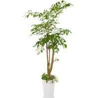 [플라워포유] 해피트리 557h (RM_RHS1068) [공기정화식물/관엽식물/개업화분/이사선물