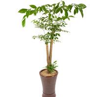 [플라워포유] 해피트리 (RM_RHS1070) [공기정화식물/관엽식물/개업화분/이사선물]