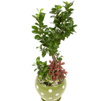 [플라워포유] 마블인삼팬다 760v (RM_RHS1071) [공기정화식물/관엽식물/이사선물/개업선물]