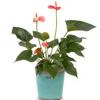 [플라워포유] 안시리움 (RM_RHS1072) [공기정화식물/관엽식물/이사선물/개업선물]