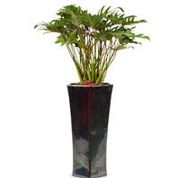 [플라워포유] 필로덴드론 셀로움 (RM_RHS1077) [공기정화식물/관엽식물/개업/이사]