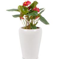 [플라워포유] 안시리움 561k (RM_RHS1078) [공기정화/개업선물/이사선물/관엽식물/화분]