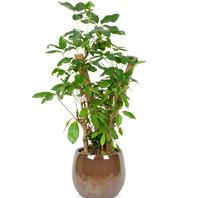 [플라워포유] 대엽홍콩 (RM_RHS1087) [관엽식물/공기정화/개업/이사/화분]