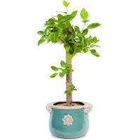 [플라워포유] 뱅갈고무나무 (RM_RHS1096) [공기정화식물/관엽식물/개업화분/이사선물]