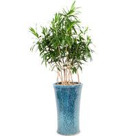 [플라워포유] 자마이카 (RM_RHS1021) [관엽식물/공기정화/개업/이사/화분]