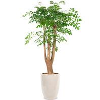 [플라워포유] 행복나무(해피트리) (RM_RHS1105) [공기정화식물/관엽식물/개업화분/이사선물]