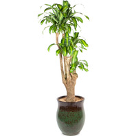 [플라워포유] 행운목 [관엽식물/공기정화/개업/이사/화분]