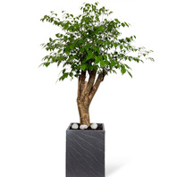 [플라워포유] 행복나무(해피트리-사각분) [공기정화식물/관엽식물/개업화분/이사선물]