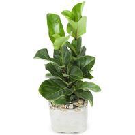 [플라워포유] 떡갈나무(소) (RM_RHS2034) [관엽식물/공기정화/개업/이사/화분]