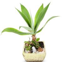 [플라워포유] 아가페(아테 누아타) (RM_RHS2040) [공기정화식물/관엽식물/개업선물/이사선물]