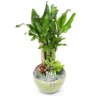[플라워포유] 황금죽2 (RM_RHS2044) [관엽식물/개업/이사/공기정화식물/화분선물]