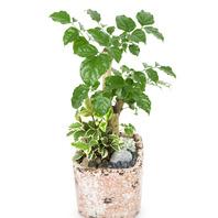 [플라워포유] 녹보수 (RM_RHS2048) [공기정화식물/관엽식물/개업선물/이사선물]