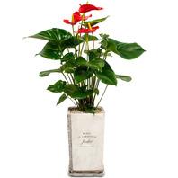 [플라워포유] 안시리움 (GN_1024) [관엽식물/공기정화/개업/이사/화분]