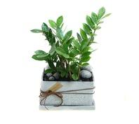 [플라워포유] 금전수-小(돈나무) [개업화분/이사선물/관엽식물/공기청정]